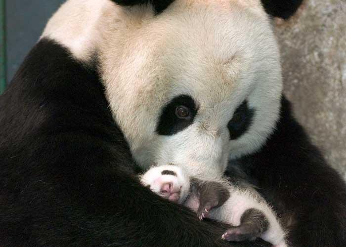 Zoológico de Singapur cría el primer cachorro de panda /