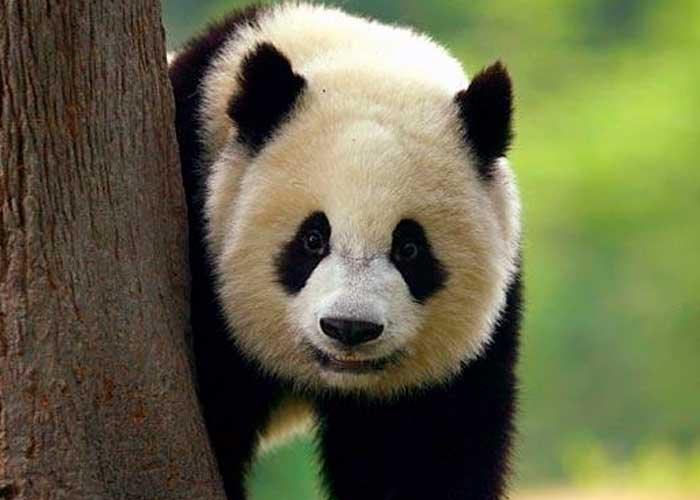 Zoológico de Singapur cría el primer cachorro de panda