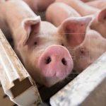 El Salvador prohíben ingreso de carne de cerdo por brote de peste porcina