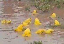 Decenas de ranas amarillas invaden charcos de la India