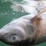 Mueren miles de salmones en Noruega por contaminación con cloro / FOTO / Twitter