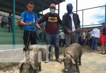 Familias reciben bonos de cerdos en Jalapa, Nueva Segovia