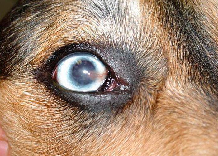 pannus, perros, causas,