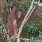 Abominable: Usaban a orangután para placeres sexuales en un burdel
