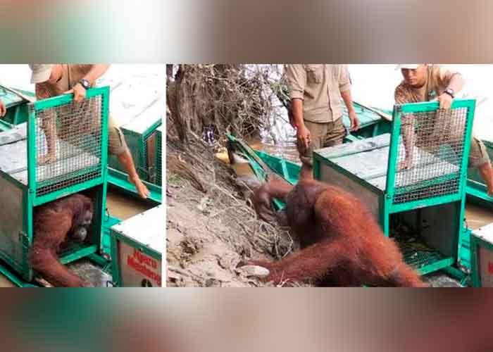Pony el día que llegó a la isla santuario de la Borneo Orangutan Survival Foundation por primera vez