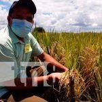 Nueva variedad de arroz resistente al cambió climático