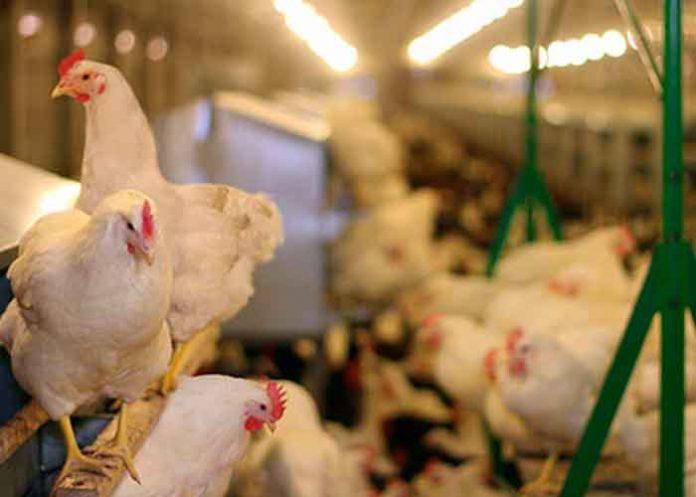Belice advierte posible brote de Newcastle, enfermedad que afecta aves