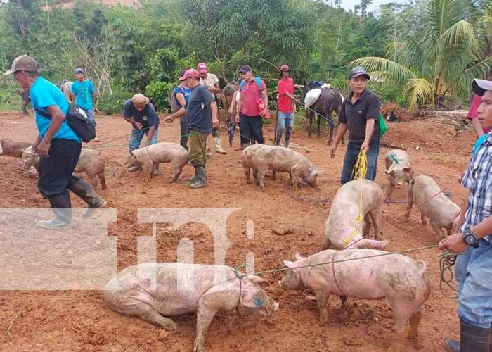 Entrega de bonos de cerdos para familias productoras del Caribe Norte