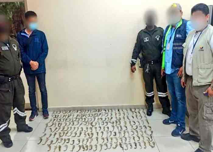 Ciudadano chino pretendía sacar de Ecuador 213 caballitos de mar