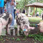 INTA beneficia a 80 mujeres con entrega de cerdos de parte del Gobierno