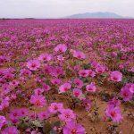 El lugar más seco del mundo se llenará de flores este año