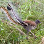 Este pájaro de Australia imita a la perfección el llanto de un bebé humano