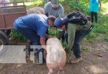 Actividad porcina en Nandaime, Granada