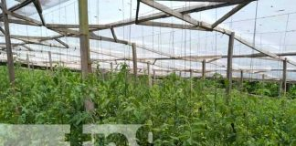 MEFCCA inaugura mejoras en invernaderos hidropónicos en Jinotega