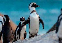 Más de 60 pingüinos mueren por picaduras de abeja en Sudáfrica