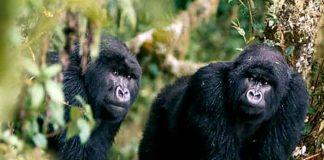 ¡Peculiar sorpresa! Gorilas sorprenden a visitantes teniendo amoroso encuentro