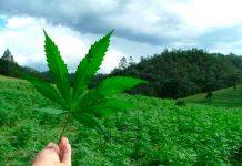 Opiniones cruzadas en Panamá por aprobación del uso medicinal de la marihuana.