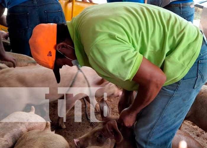 INTA hace entrega de 45 cerdos para las familias emprendedoras de Nandaime