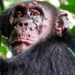 Confirman casos de lepra en chimpancés salvajes de África