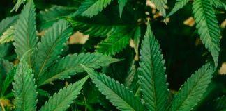 Debates en alemania sobre la legalización del cannabis