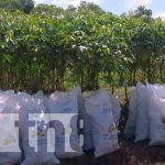 INTA presenta variedad de yucas a productores de Nicaragua