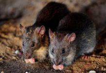Nueva York sufre un brote de ratasNueva York sufre un brote de ratas