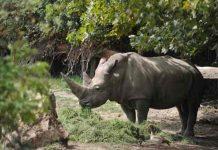 Muere Toby, el rinoceronte blanco más viejo del mundo en Italia